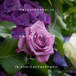 Hình ảnh hoa hồng lilac