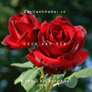 Hình ảnh hoa hồng Me Delbard