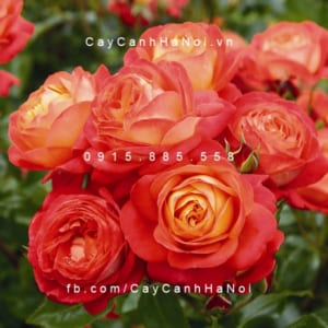 Hình ảnh hoa hồng Midsummer