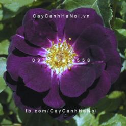 Hình ảnh hoa hồng Midnight blue