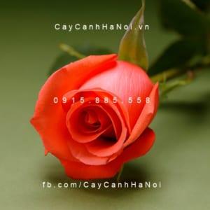 Hình ảnh hoa hồng Movie Star