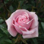 Hình ảnh hoa hồng New Zealand