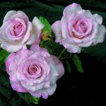 Hình ảnh hoa hồng Nicole Carol Miller