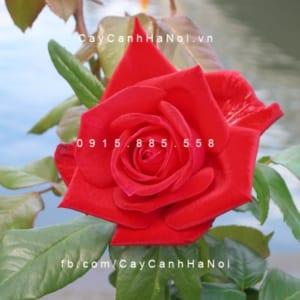 Hình ảnh hoa hồng Osaka