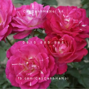 Hình ảnh hoa hồng Outta The Blue