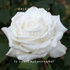 Hình ảnh hoa hồng Pierre Arditi
