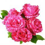 Hình ảnh hoa hồng Pink Intuition