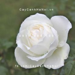 Hình ảnh hoa hồng Princess of Wales