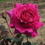 Hình ảnh hoa hồng Purple Prince