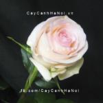 Hình ảnh hoa hồng Senorita