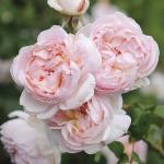 Hình ảnh hoa hồng Sharifa Asma