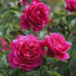 Hình ảnh hoa hồng Sir John Betjeman