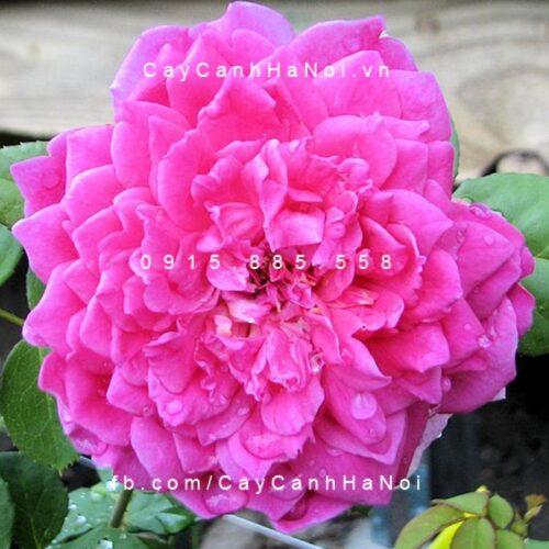 Hình ảnh hoa hồng Sophy