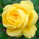 Hình ảnh hoa hồng Souvenir de Marcel Proust