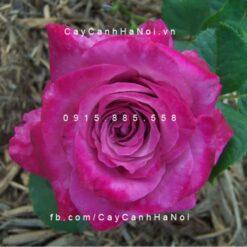 Hình ảnh hoa hồng Spell Caster