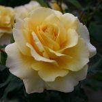 Hình ảnh hoa hồng Sunny Sky