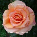 Hình ảnh hoa hồng Sunstruck