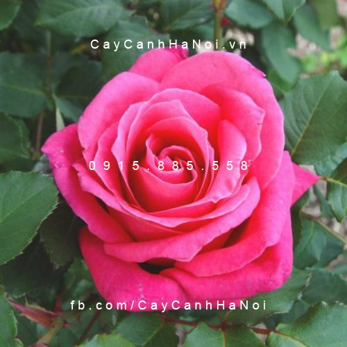 Hình ảnh hoa hồng Susan Hampshire