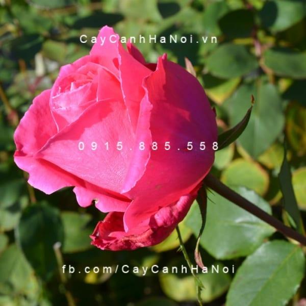 hoa-hong-bui-susan-hampshire (5)