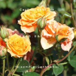 Hình ảnh hoa hồng Tropical Clementine