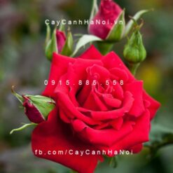 """Hình ảnh hoa hồng Veteran""""s Honor"""