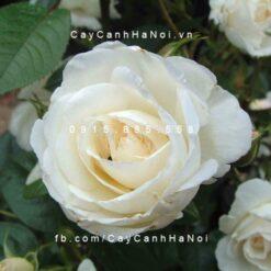 Hình ảnh hoa hồng White Christmas