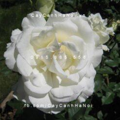 Hình ảnh hoa hồng White Masterpiece