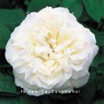 Hình ảnh hoa hồng Winchester Cathedral