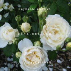 Hình ảnh hoa hồng Windermere