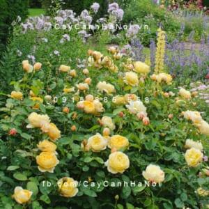 Hình ảnh hoa hồng Charlotte