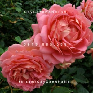 Hình ảnh hoa hồng Jubilee Celebration Tree Rose