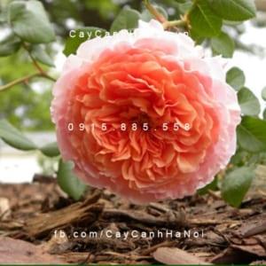 Hình ảnh hoa hồng leo Abraham darby