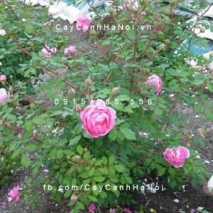 Hình ảnh hoa hồng leo Huntington