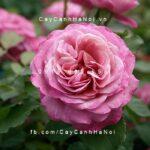 Hình ảnh hoa hồng leo Anges Shillinger