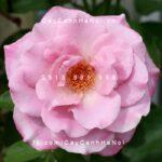 Hình ảnh hoa hồng leo Azure Sea
