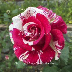 Hình ảnh hoa hồng leo Best Impression