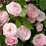 Hình ảnh hoa hồng leo Billet Doux