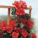 Hình ảnh hoa hồng leo Blaze of Glory