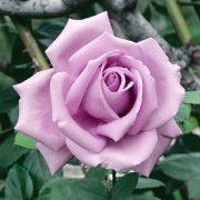 Hình ảnh hoa hồng leo Blue Moon