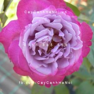 Hình ảnh hoa hồng leo Blue River
