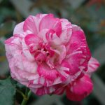 Hình ảnh hoa hồng leo Bright Idea