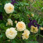 Hình ảnh hoa hồng leo Buff Beauty