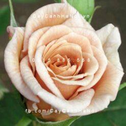 Hình ảnh hoa hồng leo Cafe Ole