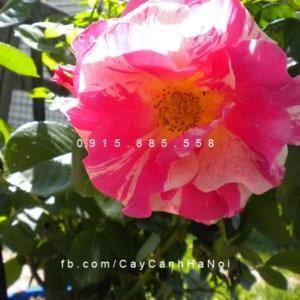Hình ảnh hoa hồng leo Candy Land