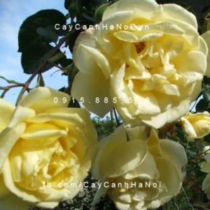 Hình ảnh hoa hồng leo Casino