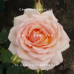Hình ảnh hoa hồng leo Chandos Beauty
