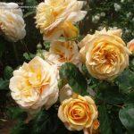 Hình ảnh hoa hồng leo Charles Austin