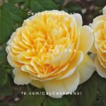 Hình ảnh hoa hồng leo Charlotte
