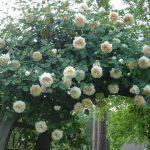 Hình ảnh hoa hồng leo Claire Austin