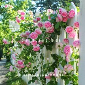 Hình ảnh hoa hồng leo Cottage